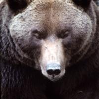 Cuando el oso habitaba los bosques madrileños