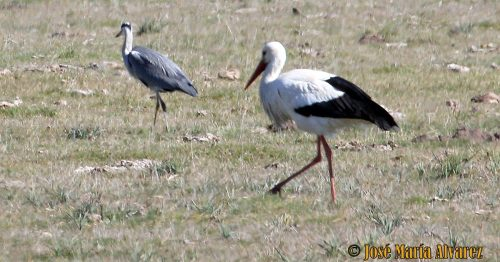 Una cigüeña y una graza real, dos especies de aves migratorias.