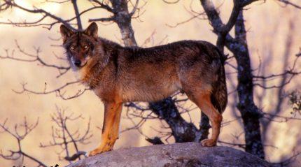 El lobo, animal totémico de la península ibérica. Foto: J.M. Álvarez Navarro.