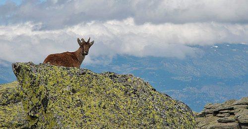 Cabra montés en la Sierra de Guadarrama.