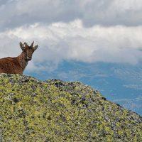 La cabra montés, una oportunidad para el lobo en el Guadarrama