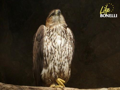 Macho de águila de Bonelli monta guardia frente al nido que regenta en las instalaciones de GREFA mientras la hembra cuida del polluelo adoptivo.