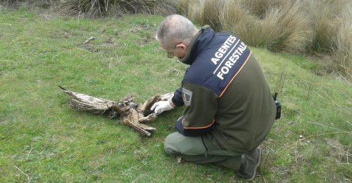 Agente Forestal inspeccionando los restos de un ave electrocutada. Foto: APAF.