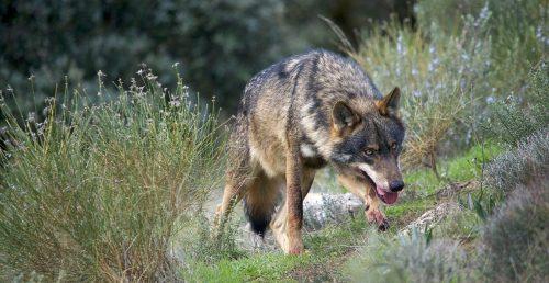 Ejemplar de canis lupus signatus. Foto: Arturo de Frias Marques.