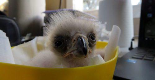 Pollo de águila de Bonelli en nuestra sala de cuidados neonatales. Este ejemplar está siendo criado por una pareja adoptiva.