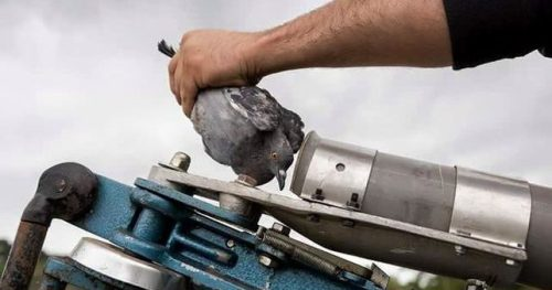 Tiro al pichón en España: una joven paloma es introducida en un cañón que la propulsará al aire para ser abatida. Foto: Tras Los Muros.