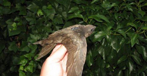 Vencejo equipado con un localizador para su seguimiento. Foto: SEO/Birdlife.
