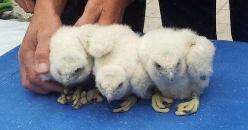 Halcones anillados de la #webcamhalcon. ©SEO/BirdLife.