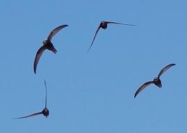 Grupo de vencejos en vuelo. Foto: Keta.
