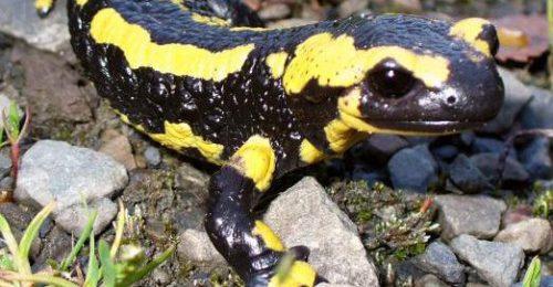 Ejemplar de salamandra.