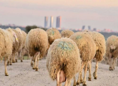 Rebaño de ovejas. Foto: UGAMA.