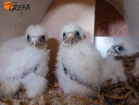 Los pollos procedentes de GREFA para la reintroducción en Cabañeros tienen una edad entre 18 y 20 días.
