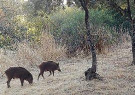 Piara de jabalíes en el entorno urbano de Torrelodones. (Foto: PSOE Torrelodones).