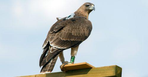 Aguila de Bonelli reintroducida por LIFE Bonelli, con su emisor GPS al dorso. Foto: Sergio de la Fuente.