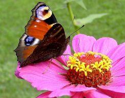 Ejemplar de mariposa pavo real. Foto: Dumi.