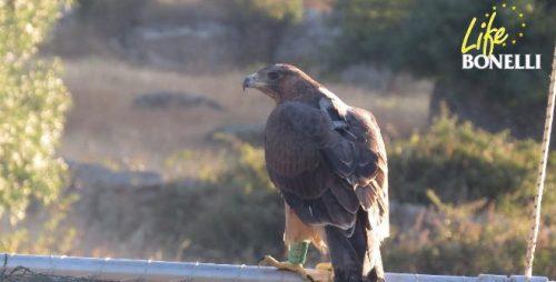 """El águila de Bonelli """"Aldáyar"""", momentos antes de dar su primer vuelo en el exterior. Se da la circunstancia de que este ejemplar ha sido apadrinado por nuestro voluntario Miguel Marco."""