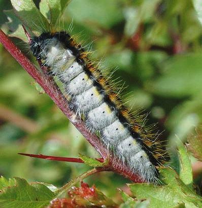 Oruga de la mariposa blanca del majuelo. Foto: James Lindsey.