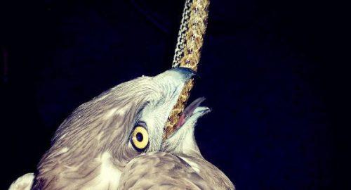 En la fotografía se aprecia el cuerpo inerte de la culebra bastarda alojada en el inicio del tracto digestivo del águila culebrera. Foto: GREFA.