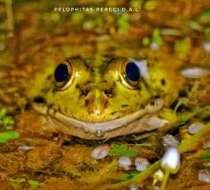 Ejemplar de rana común. Foto: David Alfonso de Lucas.