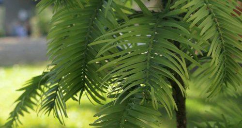 Detalle del pino Wollemi adquirido por la UDIMA (Fotografía: Ana Rodrigo).