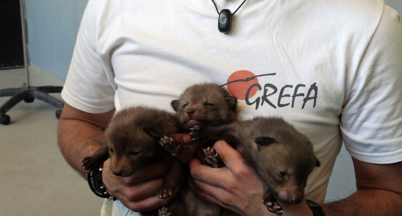 Camada de zorros ingresada en GREFA_preview