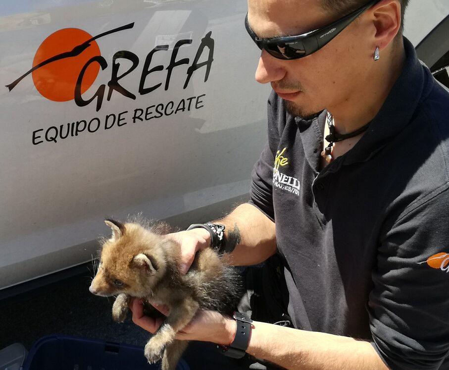 Cría de zorro rescatada por GREFA.