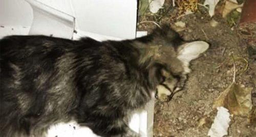 Uno de los gatos envenenados.