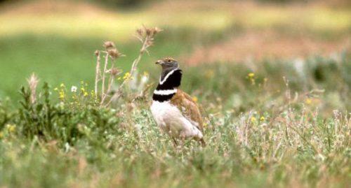 Ejemplar macho de sisón común. Foto: SEO/Birdlife.