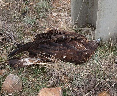 Águila real electrocutada.
