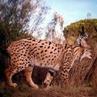 El preestreno del documental 'Dehesa, el bosque del lince ibérico' inaugura 'Pajareros'