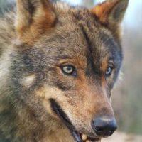 La locura del lobo en la Comunidad de Madrid