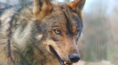La Comunidad aumenta en un 20% las ayudas a ganaderos por ataques de lobos.