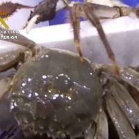 La Guardia Civil interceptan 500 ejemplares del invasor cangrejo chino