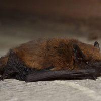 Murciélago común, inofensivo vecino