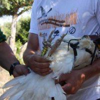 Un nuevo 'centinela del veneno' es liberado en Segovia