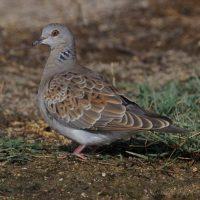 SEO/BirdLife denuncia la caza de la tórtola pese a su crítica situación poblacional
