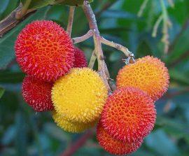 Frutos del madroño. Foto: Jplm.