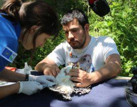 El biólogo de GREFA Juan José Iglesias, ayuda a una veterinaria a extraer una muestra de sangre de un pollo de milano real. Foto: GREFA.