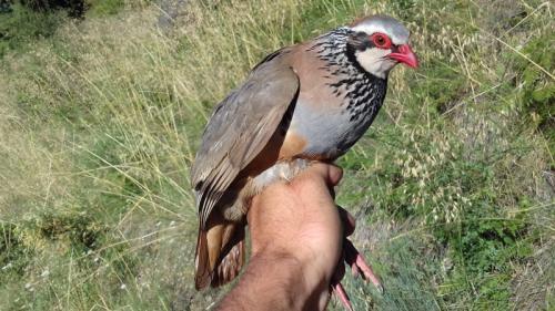 Perdiz roja captura para la toma de muestras genéticas y posteriormente liberada. Foto: Óscar Frías.