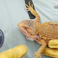 Agentes Forestales recogen un dragón barbudo en Guadarrama