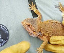 Agentes Forestales recogen un dragón barbudo en Guadarrama.