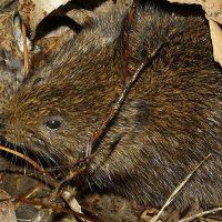 Rata de agua, acuático roedor