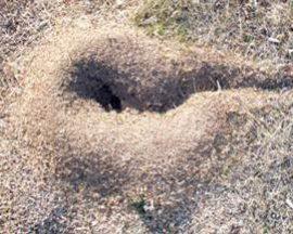 Uno de los hormigueros activos localizado en Somosaguas. Foto: O. Fesharaki.