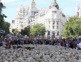 Las ovejas vuelven para celebrar el 600 aniversario de la trashumancia en Madrid. Foto: Ayto. Madrid.