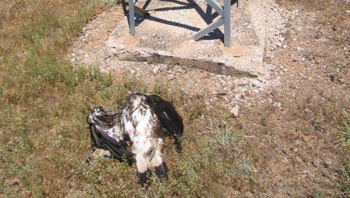Águila real junto al apoyo del tendido eléctrico en el que murió electrocutada.