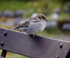 Gorrión común. Foto: SEO/Birdlife.