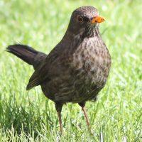 Mirlo común, el pájaro melómano