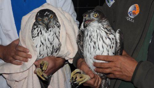 Las dos águilas de Bonelli decomisadas en Bulgaria, tras llegar al centro de recuperación de GREFA en Majadahonda. Foto: GREFA.