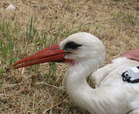 Cigüeña blanca marcada con emisor en Madrid. ©SEO/BirdLife.