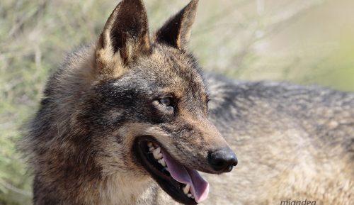 Ejemplar de lobo ibérico. Foto: mjdadea.